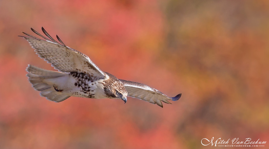 Fall For The Colors (Red-Tailed Hawk)