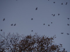 Paseo vespertino (Sabela) Tags: crows evening birds crowsnightroost