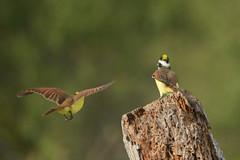...and stay out! (BobRobin) Tags: esterollanograndestatepark texas greatkiskadee flycatcher riograndevalleybirdingfestival