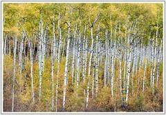 Aspens (adam_pierz) Tags: aspens trees colorado autumn nikond600 fall