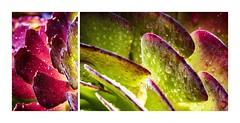Succulent Colours (red stilletto) Tags: oakdenewinery oceangrove wallington garden gardens succulent rain raindrops colourpalettes bellarinepeninsula famousflickrfive
