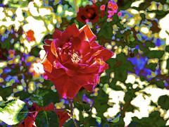 Random Rose! (maginoz1) Tags: flower flora abstract art manipulate curves bullarosegarden rose bulla melbourne victoria australia spring november 2017 canon g16