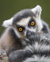A lemur and his tail (Tambako the Jaguar) Tags: fluffy tail portrait funny face ringtailed catta black white lemur primate parcanimalier saintecroix park parc rhodes zoo france nikon d5