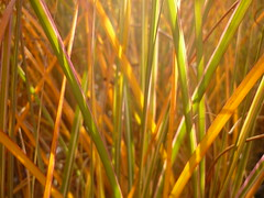 Herbstlicht (Jörg Paul Kaspari) Tags: hosingen garten miscanthus ´morning light´ miscanthus´morninglight´ herbst herbstfärbung november autumn fall autumncolor gras grass herbstlicht autumnlight herbstlich