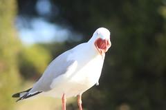 """Silver gull """"Ahhh!"""" (natalia.bird_nerd) Tags: silvergull mouthopen bird"""