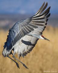 Sandhill Crane (Brandon Downing) Tags: flight fineart feather feathers nature nikon nik new wildlife wings colorado closeup light lens bird bokeh birding beautiful birds