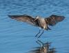 DSC_3672 (craigchaddock) Tags: marbledgodwit limosafedoa sandiegonationalwildliferefugecomplex southsandiegobay sandiegobay shorebirds godwit bif birdsinflight birdinflight