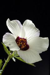 NZ Hibiscus (Hibiscus trionum) (Nga Manu Images NZ) Tags: fscientificnames flowering hibiscus hibiscustrionum plants plantsandfungi