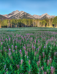 Carpets (Loren Mooney) Tags: flowers wild summer canada mountains nature canon landscape rockies natural august alpine banff wildflowers wilderness lakelouise canadianrockies 2015