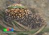 Cauliflower coral (Pocillopora sp.) (wildsingapore) Tags: nature marine singapore underwater wildlife coastal shore intertidal seashore pulau marinelife hantu pocillopora cnidaria wildsingapore scleractinia pocilloporidae