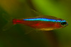 red neon tetra (Martin100B) Tags: blue red fish rot animal neon underwater tank fisch blau tier roter neontetra aquaristik paracheirodon neonsalmler