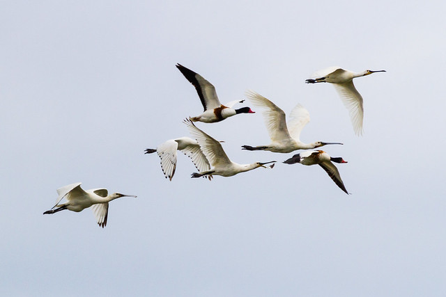 Spoonbills and Shelducks