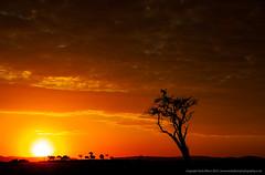 Crested Cranes at Sunrise (markrellison) Tags: wild sun bird birds silhouette clouds sunrise iso800 kenya wildlife backlit f80 masai lightroom masaimara 75mm impalas 11600sec crestedcranes lrcc canoneos5dmarkiii ef70200mmf28lisiiusm maranorthconservancy lightroomcc bosaitree