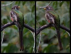 Elegant Trogon (Christopher Lindsey) Tags: arizona birds birding sierravista cochisecounty eleganttrogon huntercanyon
