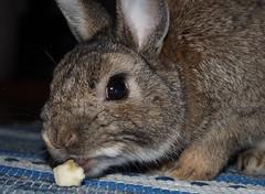 Curious Snack (tusenord) Tags: cute bunny closeup banana snack frukt fotosondag fs150906