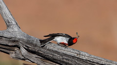 IMG_7167 (Dan Armbrust) Tags: australia queensland cannon grub australianbirds armbrust 70d redcappedrobin channelcountry danarmbrust