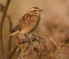 Whinchat (Severnrover) Tags: bird chat migration whinchat supercillium