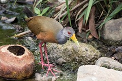 Grey-Necked Wood-rail (arthurpolly) Tags: wild holiday nature beautiful birds photoshop canon eos nationalpark costarica wildlife exotic unusual avian naturesfinest carara 100400l 100400is greyneckedwoodrail platinumphoto impressedbeauty avianexcellence flickrdiamond natureselegantshots 7dmk2 elements13
