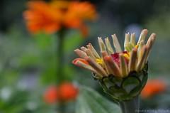 Zinnia (Sandra Király Pictures) Tags: flowers poland zinnia kraków cracow botanicalgarden ogródbotaniczny