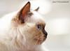 IMG_6940a_c (JANY FEDERICO GIOVANNINETTI) Tags: hairy cats cat hair eyes funny soft sweet expressions occhi international felini gatto gatti divertenti pelosi pelo dolci pedigree internazionale sguardi espressioni razza soffice soffici