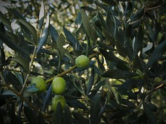 Olive. (@oloarge) Tags: olive olives aceitunas green oloarge