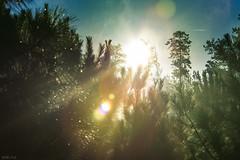 Rays of light (Daniel A Ruiz) Tags: trees light sky sun fall misty pine sunrise georgia ray shadows flare canton 135mm d700
