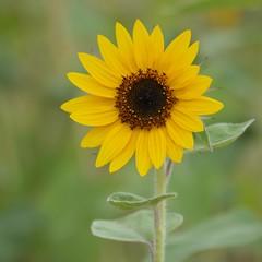 Eblouissement * (Titole) Tags: green leaves yellow squareformat sunflower tournesol friendlychallenges titole nicolefaton