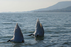 Synchronized Swimming Swans (tamasmatusik) Tags: lake swan october hungary swans balaton révfülöp hattyú plattensee synchronizedswimming badacsony welovebalaton