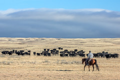 Driving the Herd (www.toddklassy.com) Tags: ranch autumn people horse usa west color grass animals horizontal rural work outdoors countryside cowboy montana whitewater driving mt unitedstates cattle cows beef country seasonal group working meadow pasture western land prairie copyspace cowgirl agriculture plains shipping livestock herd grazing olsen equine agricultural ranching roundup quarterhorse grassy steers oldwest greatplains blackangus herding cattledrive ranchers phillipscounty workingwithanimals
