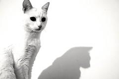 La doppia personalità (ewelina.zjezdzalka) Tags: cat ombra gato gatto kot doppiapersonalitá ewelinazjezdzalka