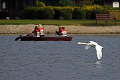 Swan Fly-Past (lens buddy) Tags: birds swan wildlife lancashire waterfowl muteswan pinelake wildfowl carnforth canoneosdigital