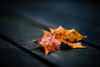 Autumn Leaf (Greig Reid) Tags: camera autumn red orange color colour macro fall nature colors leaves photoshop canon lens outside outdoors eos prime photo leaf colours dof image availablelight picture naturallight 100mm depthoffield photograph l 5d f28 lightroom canoneos5d greigreidphotography