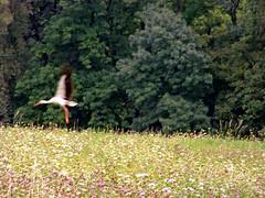 One of a lot of Storks. (topzdk) Tags: wien honda austria spider republic czech brno motorcycle cieszyn cesky 2007 kostel autozug thaya tesin mikulov svitavy hardegg cizov musovsky