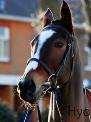 Vautour (hyperionone) Tags: horse face head ascot winner horseracing blaze cheltenham racehorse thoroughbred chaser paddock vautour nationalhunt rubywalsh williemullins