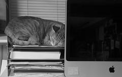 (amy20079) Tags: sleeping pet animal cat computer office feline nestled catmoments nikond5100
