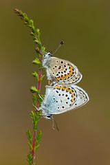 Silver-studded Blue (Plebejus argus) (Wildlife Photography by Matt Latham) Tags: macro nature canon butterfly finland insect wildlife sigma lepidoptera argus aland silverstuddedblue mattlatham