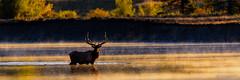 Paused (craig goettsch) Tags: water nationalpark nikon ngc bull snakeriver d750 wyoming elk grandtetonnp specanimal specanimalphotooftheday specanimaliconofthemonth