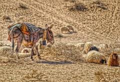 #petsandanimals #photography #nature #hdr #colorful #love #freetoedit #food  #animal #animals #Sheep #lamb #donkey #donkeys # # # # # #  #Sonyalpha #sony #alpha # #  # # # # # (photography AbdullahAlSaeed) Tags: food love nature animal animals photography colorful sheep donkeys sony donkey lamb alpha hdr     petsandanimals     sonyalpha      freetoedit