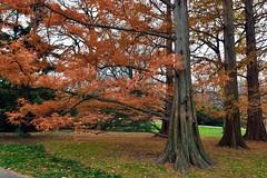 Dawn Redwood (Eddie C3) Tags: trees newyorkbotanicalgarden dawnredwood metasequoiaglyptostroboides benensonornamentalconifers