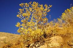 Blazing Star (Narodnie Mstiteli) Tags: desert plant flower autumn blazingstar mogul nevada