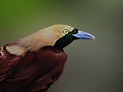 DSCN0023 Lesser bird of paradise (tsuping.liu) Tags: outdoor organicpatttern nature natureselegantshots naturesfinest birds photoborder perspective ecology