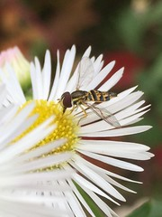 photo of the day  day 6 (_sydneyjones) Tags: puremichigan michigan photography perception clear risk flower daisy bee