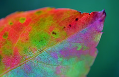 Colorful Leaf (Larah McElroy) Tags: photograph photography picture pictures larah mcelroy larahmcelroy plant plants leaf leaves fall colorful colors macro