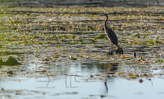 Mud Lake Heron : September 23, 2016 (jpeltzer) Tags: ottawa ottawariver mudlake heron birds