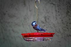 Chestnut-backed Chickadee on the hummingbird feeder (randyherring) Tags: ca california chestnutbackedchickadee patio backyard birdfeeder bird afternoon outdoor sanjose nature