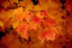 On Fire (10 22 2016) (PhotoDocGVSU) Tags: fall autumn fallcolor autumn2016 maple leaves fire wabasispark