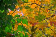 Fall Colors (Kirt Edblom) Tags: corvallis oregon usa harrisburg harrisburgoregon color yellow green brown red tree trees fall october 2016 milf wife gaylene easyhdr hdr nikon nikond7100 nikkor18140mmf3556 kirt kirtedblom edblom leaves nature brokeh depthoffield closeup outdoor outdoors foliage leaf