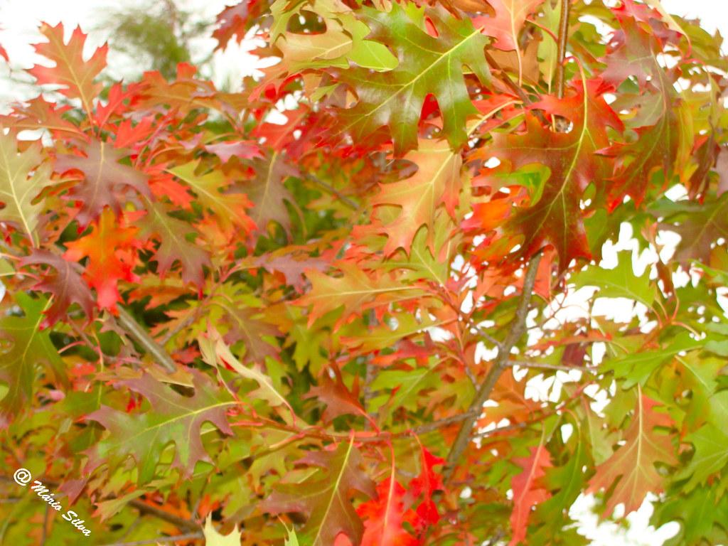 Águas Frias (Chaves) - ... folhas de outono ...