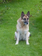 Looking on (seikinsou) Tags: ireland autumn westmeath liva alsatian germanshepherd dog garden lawn