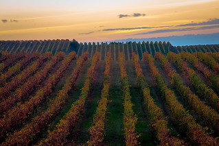Vineyard in colors